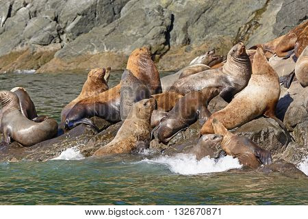 Stellar Sea Lions Crowding on a Rock in Prince William Sound near Valdez Alaska