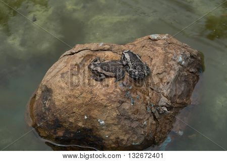 Bullfrog On A Stone