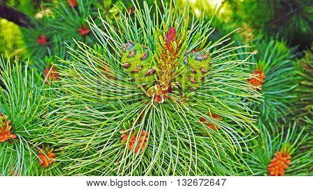 Pine tree. Sunny spring day in city park