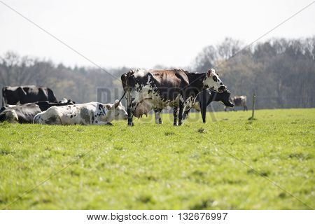 French holstein Cow on farmland grass France agriculture