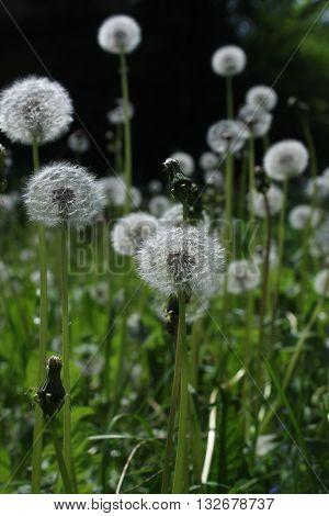light airy spheres of blossom dandelion flowers in summer field