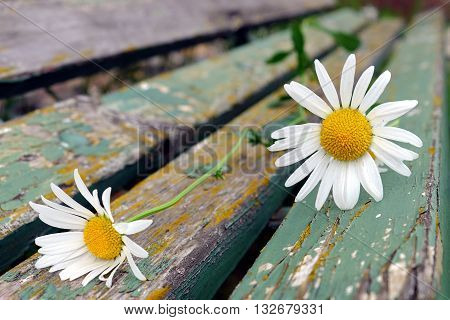 Detail of two white daisies on an old wooden park bench garden