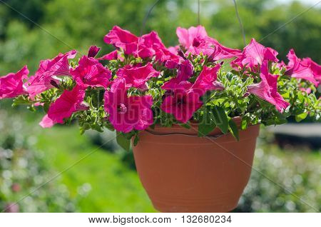 Colorful petunias in hanging pots, pink surfinia