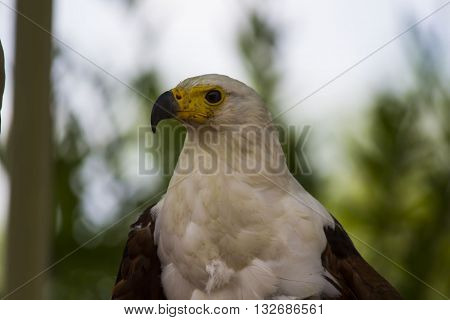 Fish Eagle portrait and Close up of face