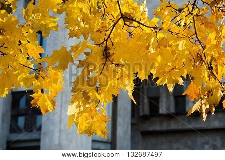 Yellow maple leaves with a modern building on the background Indian summer