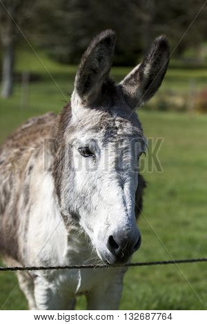 Close up of donkey watching front face grass