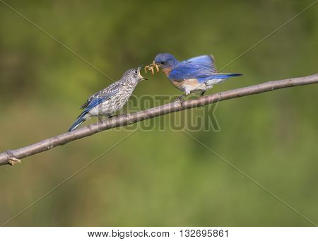 Male Eastern bluebird feeding mealworms to fledgling