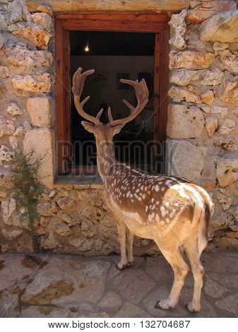 Curious tamed spotted deer (cervidae) looking inside a human house through the window