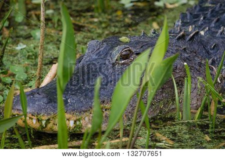 Alligator hiding behind marsh land vegetation.  Only head and eye is visible