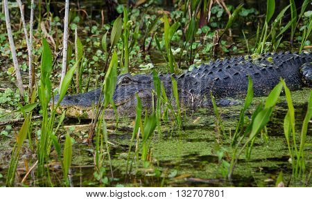 American Alligator swimming in Florida river hidden in the green plants