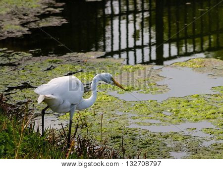 White egret hunting in a Florida swamp