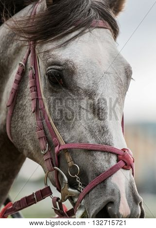 Gray Horse Looks at Camera with red bit and bridle