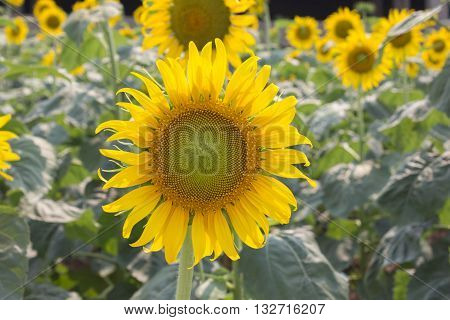 Sunflowers,Sunflowers blooming against a bright sky,Sunflowers,Sunflowers blooming ,beautiful sunflowers,big sunflowers