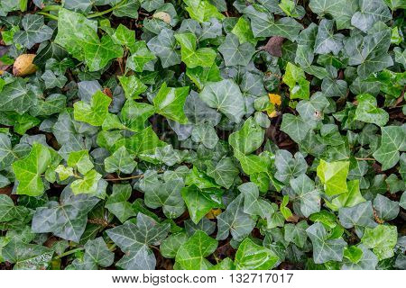 Green Ivy Close Up Background of ground cover