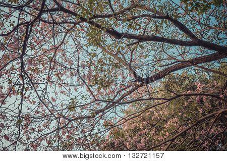Flower (pink Trumpet Tree)