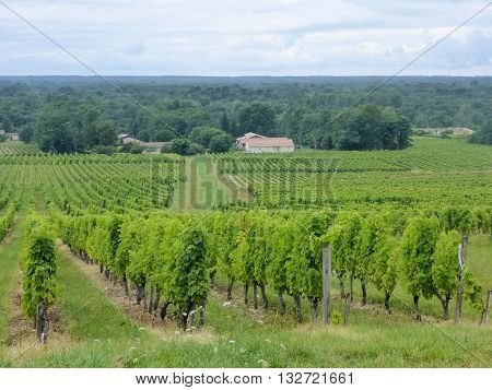 View of a vineyard in France's Sauternes winegrowing area