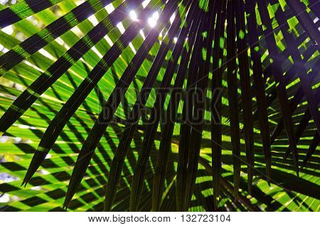 Backlit criss cross leaves of the Australian Cabbage Tree Palm (Livistona australis)