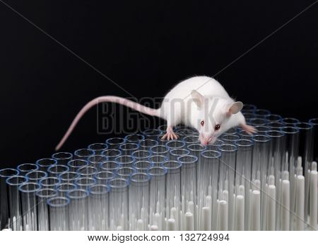 healthy young female mouse for scientific research