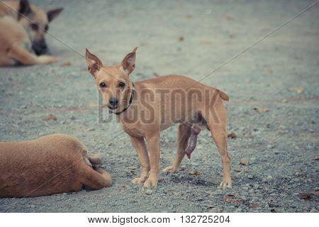 Thai Brown Dog