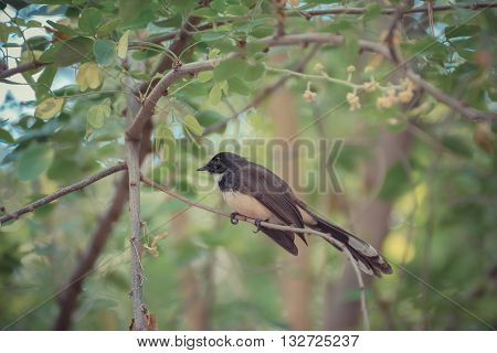 Pied Fantail Bird On A Tree
