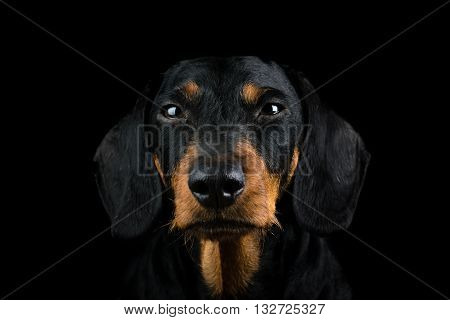 Studio portrait of the front view of a head of an dachshund on black background