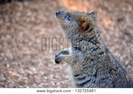 Quokka (Setonix), a cute, small Australian kangaroo