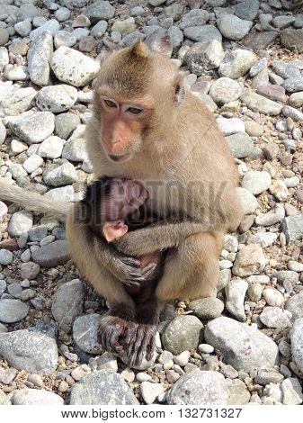 animals mammals monkey cub care primate motherhood