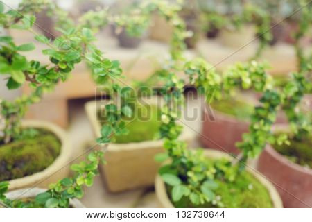 Little green heart shape Bonzai selective blurred focus