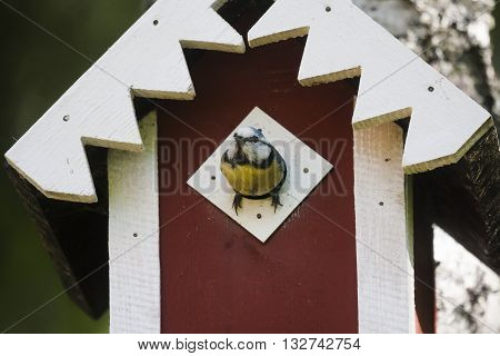 blue tit looking out of the bird house opening