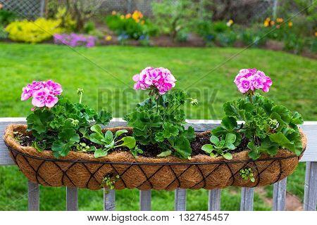 Flower planter newly planted with geraniums, petunias and lobelia.
