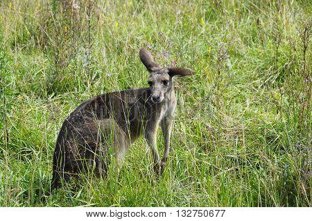 Photo close up of a kangaroo in tallgrass