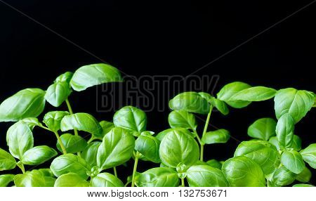 Green genovese basil plant on black space for text