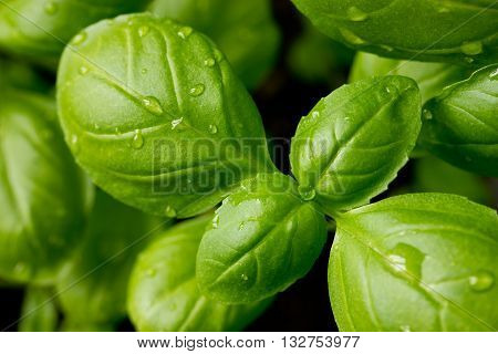 Green young Genovese basil leaves with water drops close up