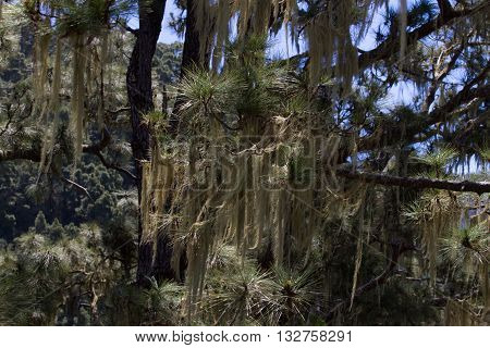 Long hair of Usnea barbata. Old pine forest in Tenerife, Canarian island