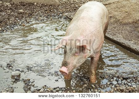 Pig stands in puddle top view nature