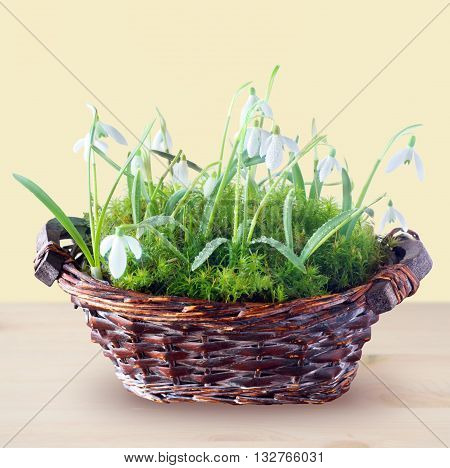 spring snowdrops in basket on a wooden background