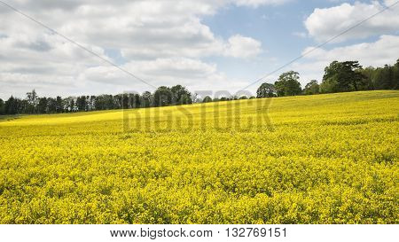 Beautiful landscape image of field of rapeseed canola in Spring