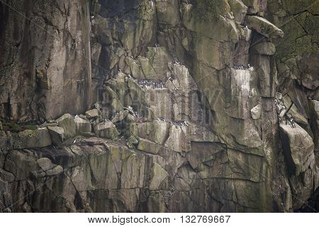 Colony of guillemot murre birds nesting on cliff face