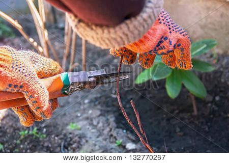 Hand Pruning Trees And Bushes Clippers, Work In The Garden And Around The House