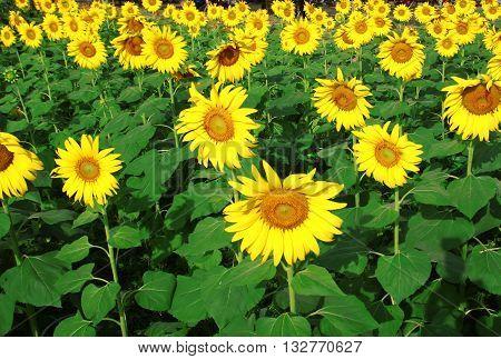 Beautiful sunflowers against blue sky. Golden sunflower.
