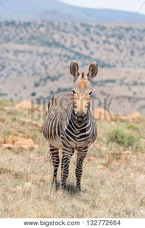 A pregnant mountain zebra mare Equus zebra zebra near Cradock in South Africa