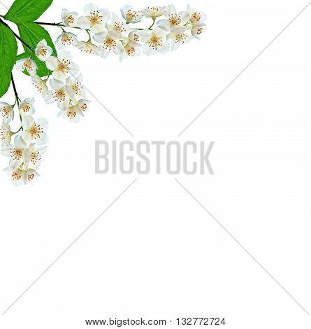 White jasmine flower. branch of jasmine flowers isolated on white background. spring flowers