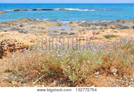 Flowering bush on the coast of Cretan Sea near Hersonissos Crete Greece.