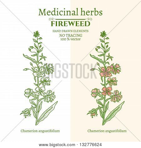 Medical plants and herbs: Willow-herb fireweed hand drawn vintage sketch vector illustration