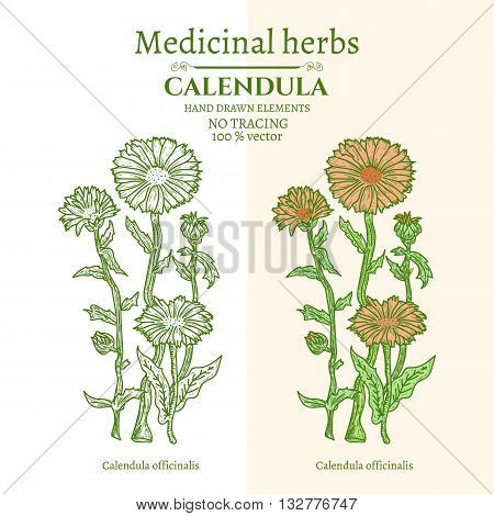 Medical plants and herbs: Calendula hand drawn vintage sketch vector illustration