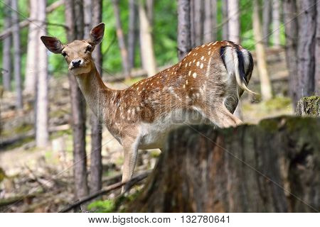 Fallow - Fallow Deer. (dama Dama ) Beautiful Natural Background With Animals. Forest And Sunset. Brn