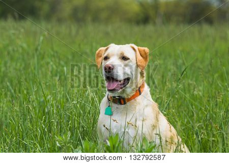 Yellow and white dog sitting in a field of tall green grass