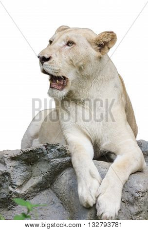 isolated female lion sitting on white bacground