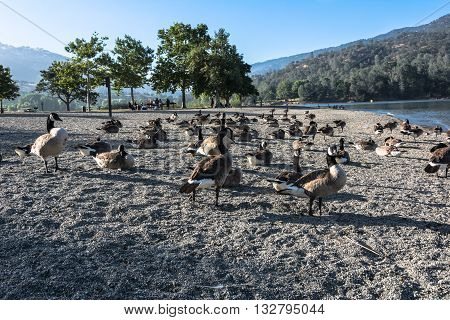 View of Canadian geese on the shore of  Lake Del Valle, California