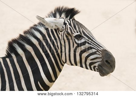 Zebra head with the soft day light background